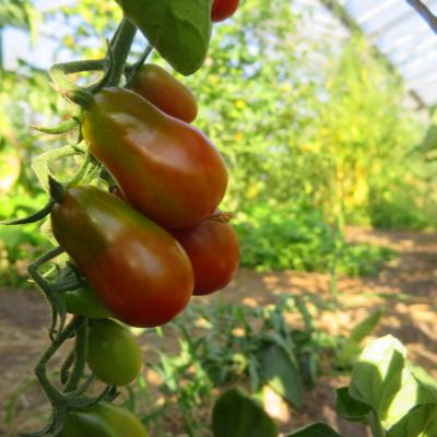 Braun/Rote Cherry Tomatenpflanze