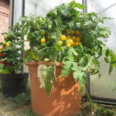 Gelbe Cherry Bio Tomatenfrüchte