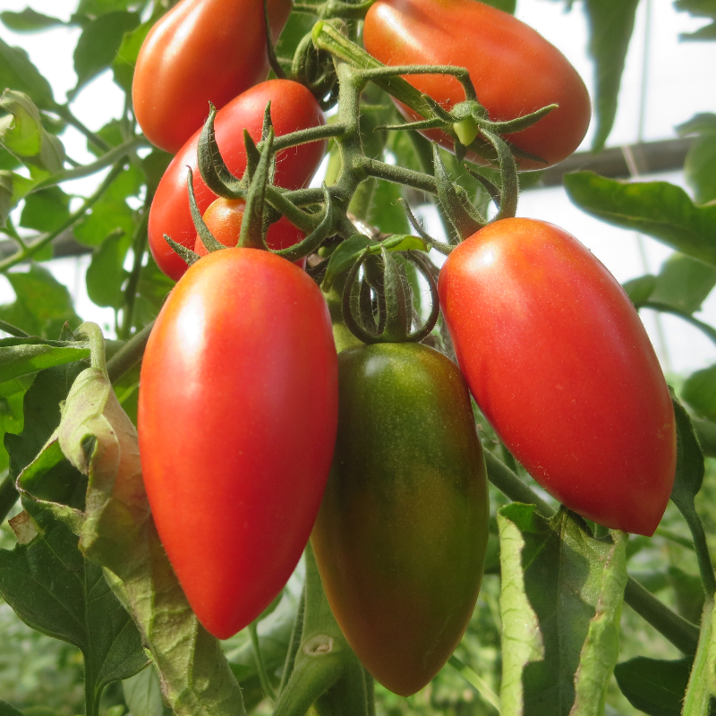 Rote längliche Bio Tomatenvielfalt