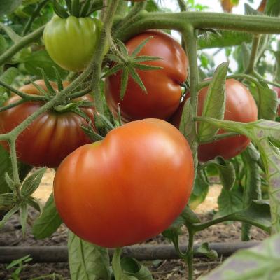 Rot/Braune Tomatenfrüchte