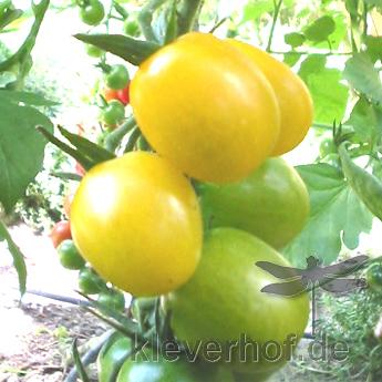 Gelbe tomatensorte mit gutem Geshmack