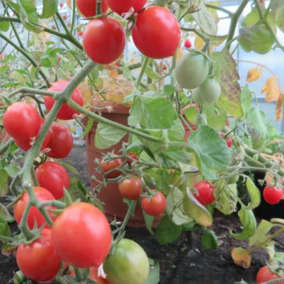 Rote cherry Tomatenvielfalt