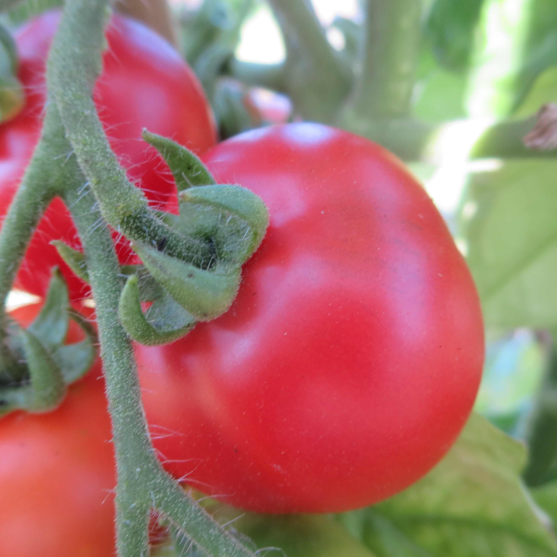 Tomatensaatgut Iris