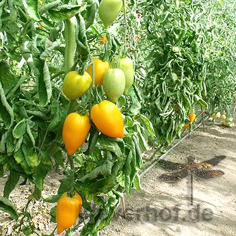 Gelbe Tomatenfrüchte mit einer Spitze