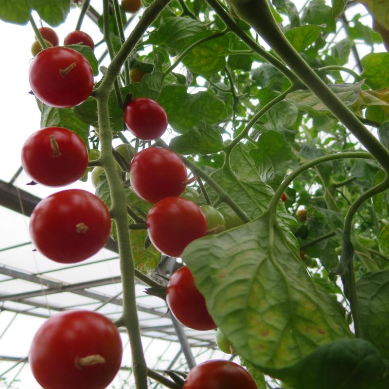 Rote Cherry Tomatenfrüchte mit Geschmack
