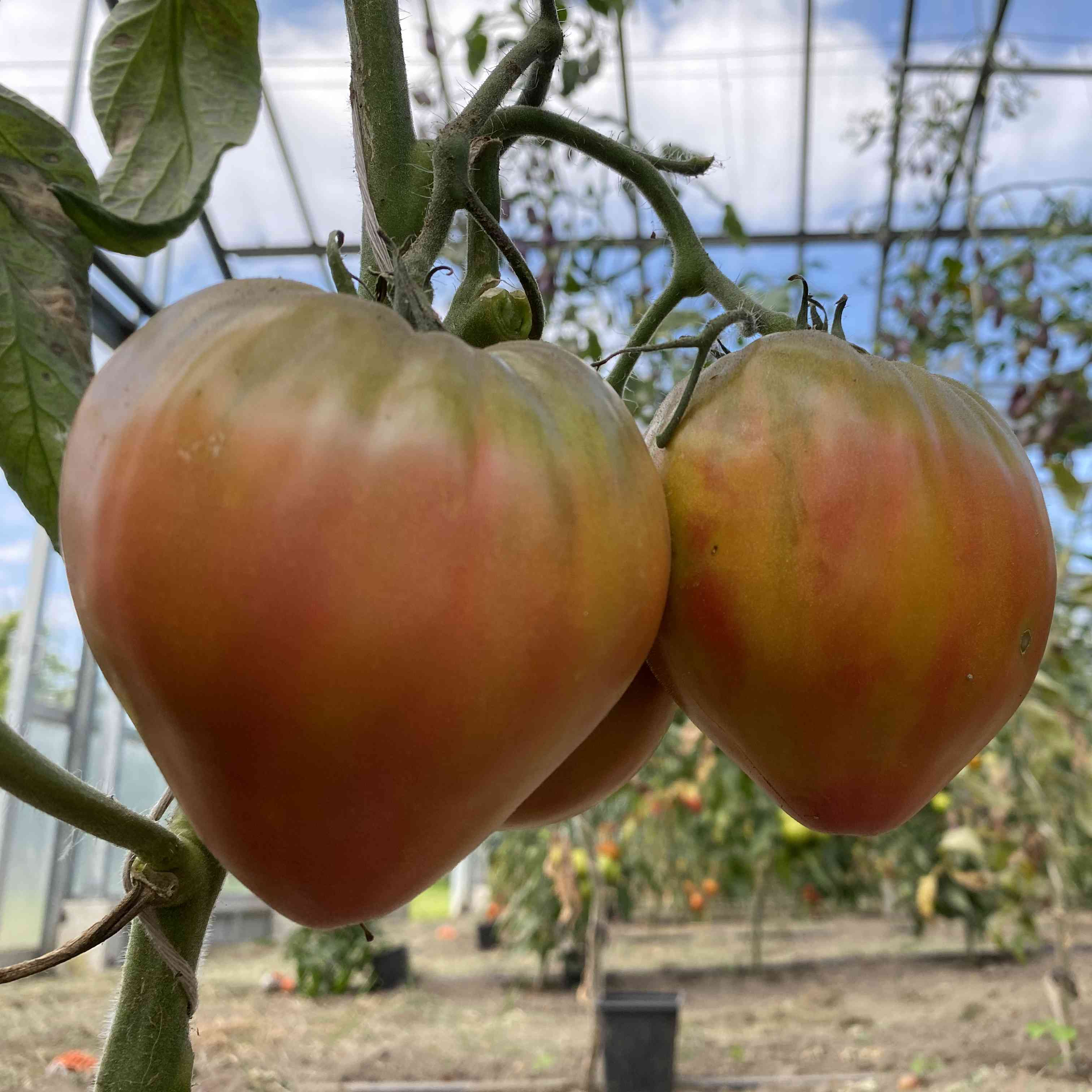 Tomatensaatgut Taiga
