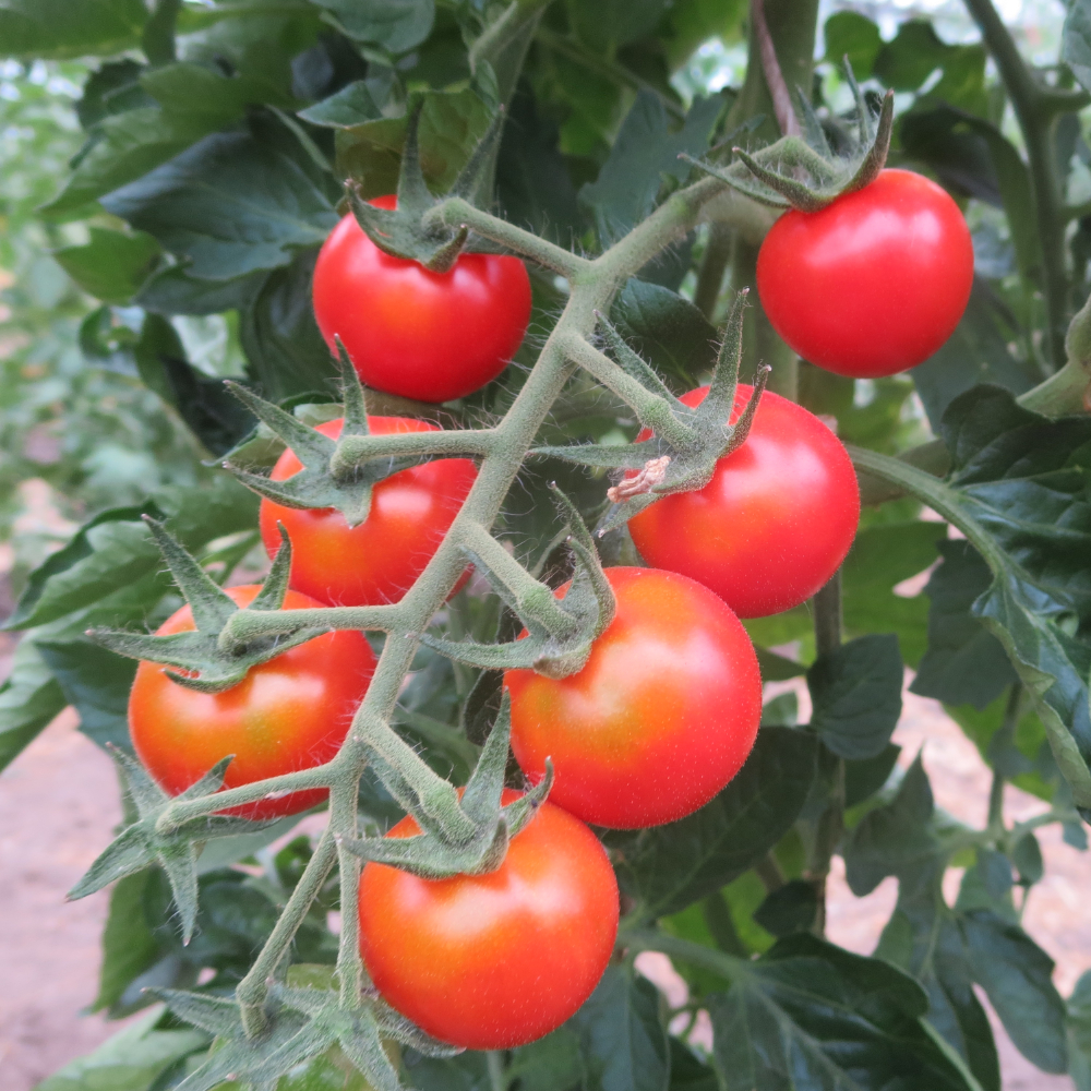 Roter Tomatenstrauch