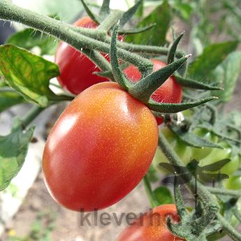 Orange und Rote Tomatenvielfalt