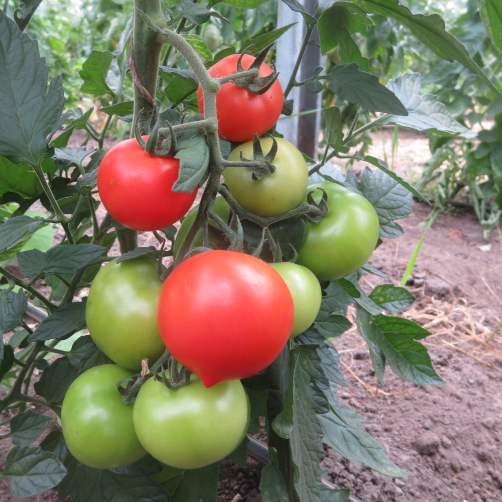 Rote Tomatenfrucht