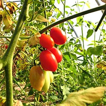 Rote Birnen Tomate mit Geschmack