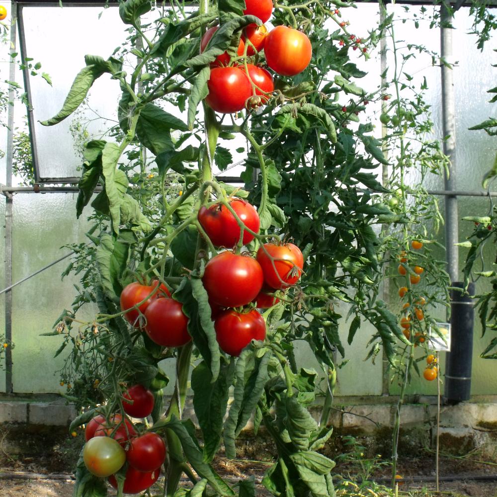 Prallrote Tomatenfrucht