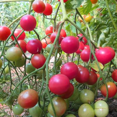 Pinke und Rote Tomatenpflanzen
