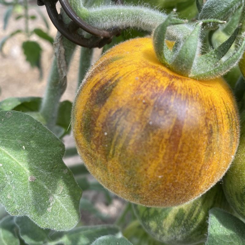 Gelbe Tomatenfrucht mit Schwarzen streifen
