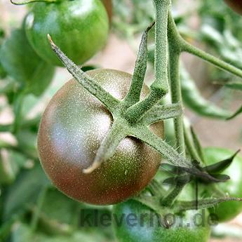 Schöne Schwarz/Braune Tomatensorte