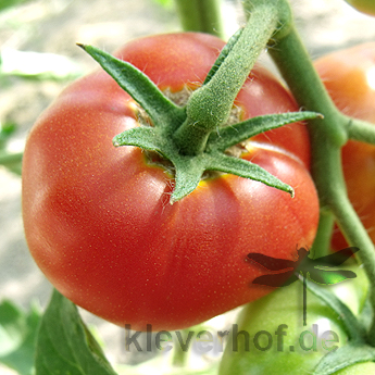 Rote Geschmackvolle Tomate