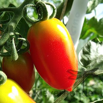 Rot/Orange längliche Tomatensorte