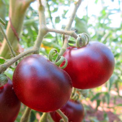 Rot/Violette Tomatenrarität mit außergewöhnlichem GEschmack