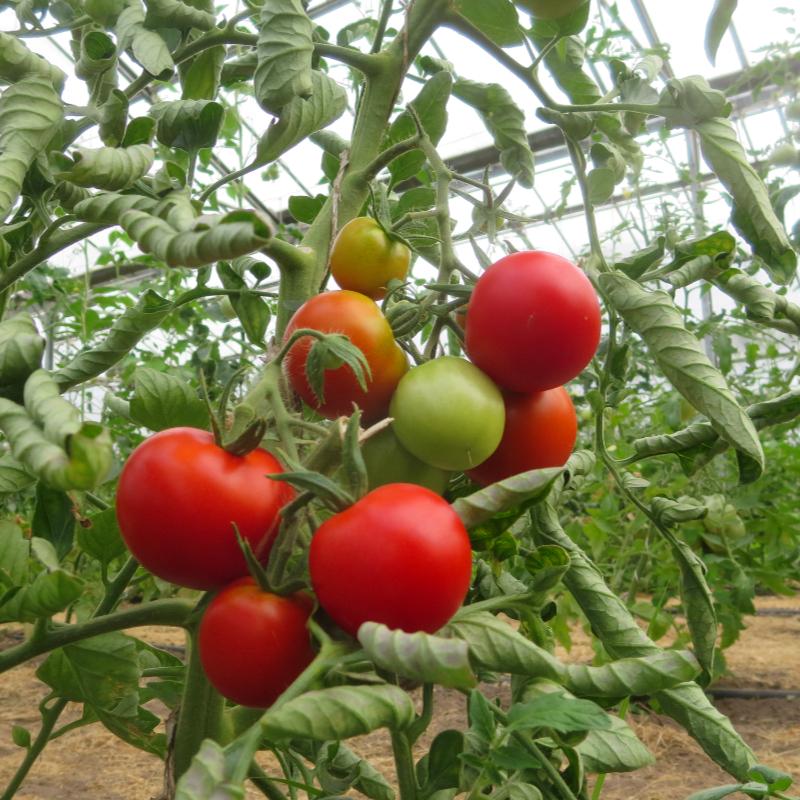 Roter Bio Liebesapfel