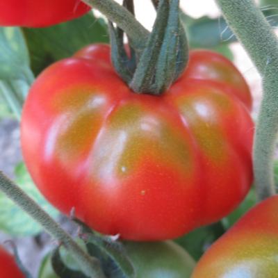 Rote Tomatenvielfalt mit schönem Geschmack