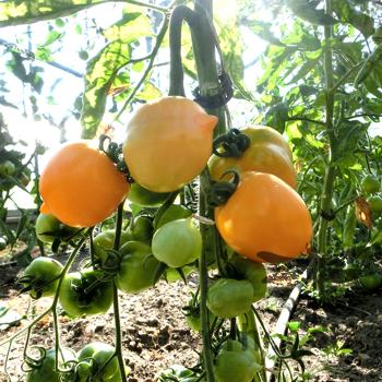 Schöne Gelbe Tomatenvielfalt