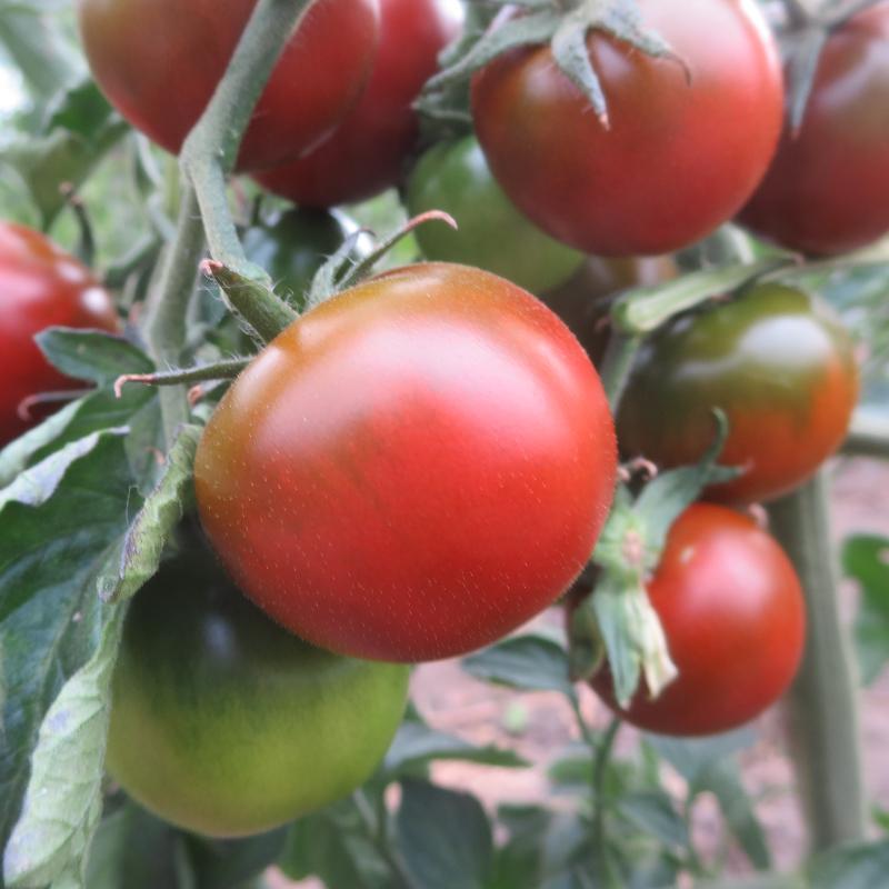 Rot/Braune Tomatenfrucht mit Gutem Geschmack