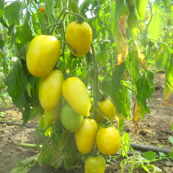 Grün/Gelber Tomatenstrauch