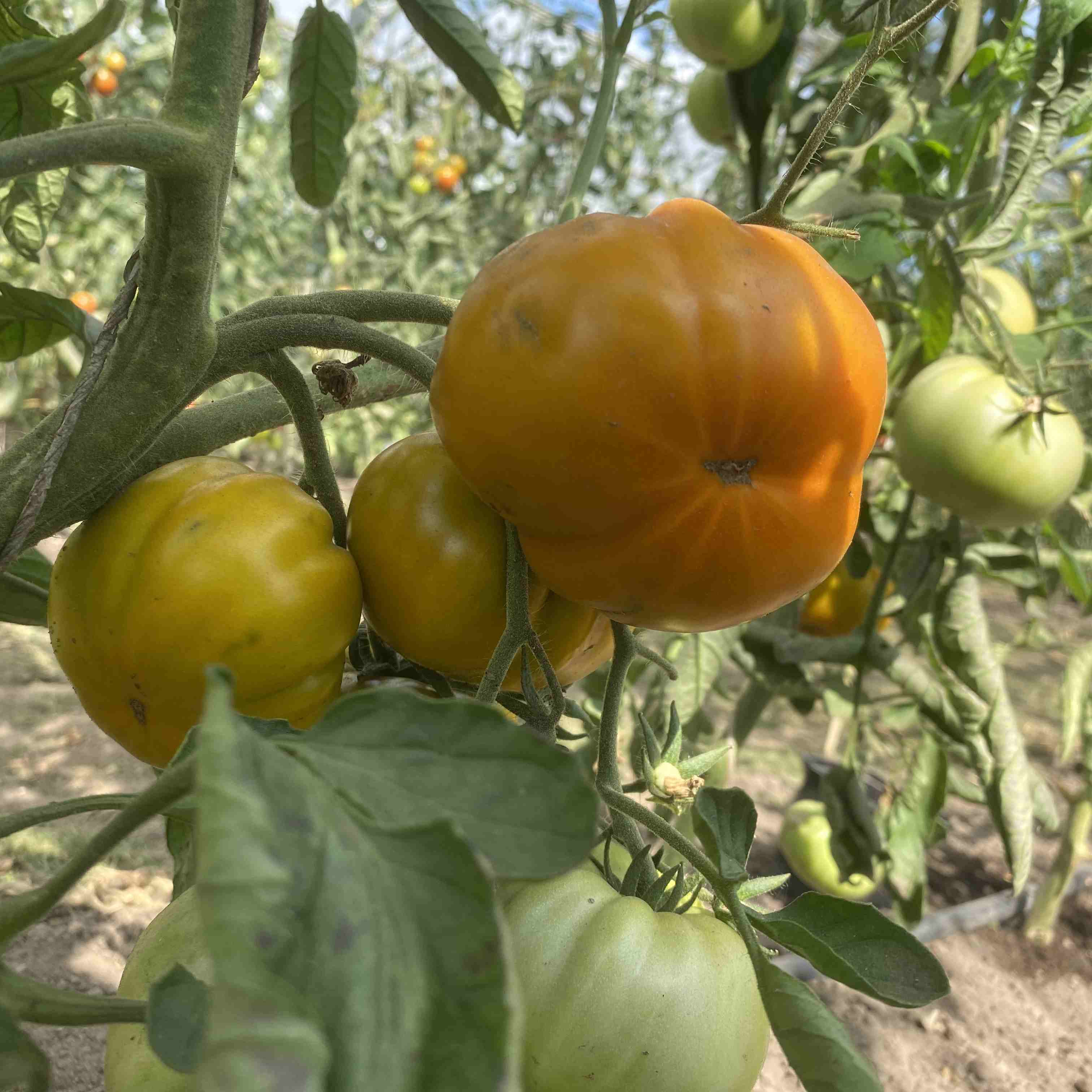 Tomatensaatgut Green Velvet