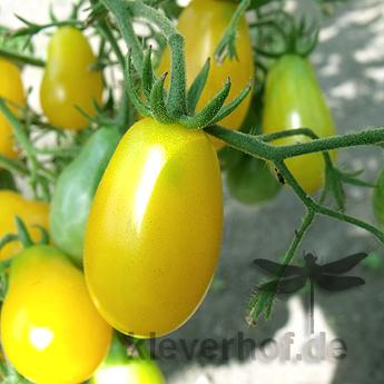 Prachtvolle Gelbe längliche Tomatensorte
