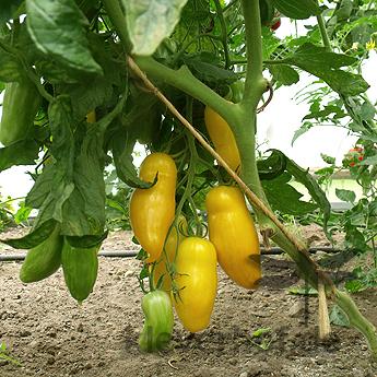 Gelbe längliche Demeter Tomate