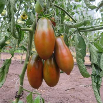 Braune längliche Tomatenvielfalt